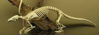 Chinese pangolin - Chinese pangolin skeleton on display at the Museum of Osteology