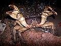 Chiromantes magnus 002 defensive posture.jpg