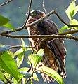 Chondroierax uncinatus (Caracolero selvático) - Flickr - Alejandro Bayer.jpg
