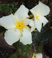 Chonemorpha fragrans - Franginpani vine flowers1.jpg