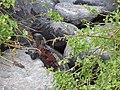 Christmas Iguanas - Marine Iguanas - Espanola - Hood - Galapagos Islands - Ecuador (4870774271).jpg