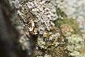 Chrysomelidae (39666245293).jpg