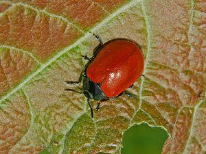Chrysomela populi - Image: Chrysomelidae Chrysomela populi