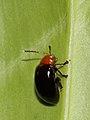 Chrysomelidae indet. (6282437851).jpg
