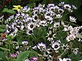 Cineraria from Lalbagh flower show Aug 2013 8229.JPG