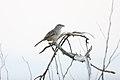 Cinnamon-tailed Sparrow (Aimophila sumichrasti) (2396408468).jpg