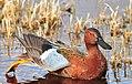 Cinnamon Teal on Seedskadee National Wildlife Refuge (26995308750).jpg