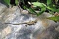 Cinque Terre Lizard (4712263024).jpg