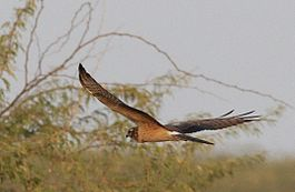 Circus pygargus juvenile in flight at little rann of kutch.jpg