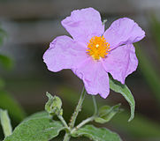 Cistus_incanus_-_flower_top_(aka).jpg