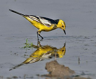 Citrine (colour) - Image: Citrine Wagtail (Motacilla citreola) Breeding Male of calcarata race at Bharatpur I IMG 5752