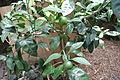 Citrus reticulata 'Owari'.jpg