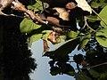 Cladomelea debeeri Bolas spider in a Dombeya tree.jpg