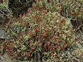 Cladonia leporina - Flickr - pellaea.jpg