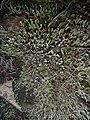 Cladonia macilenta 15328168.jpg