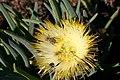 Clania sp. (Scarabaeidae- Melolonthinae-Rutelinae- Hopliini) on Conicosia elongata (Aizoaceae) (37403863132).jpg