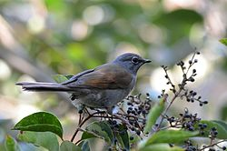 Clarín Jilguero, Brown Backed Solitaire, Myadestes occidentalis (12175724624).jpg
