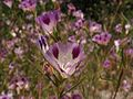 Clarkia williamsonii subsp. williamsonii.jpg
