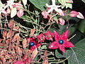 ClerodendronTrichotomum5.jpg