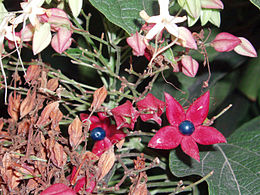 ClerodendronTrichotomum5