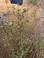 Cliffortia ruscifolia Gifberg 01.jpg