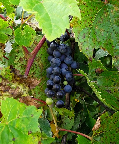 File:Cluster of frost grapes (Southeast Michigan).JPG