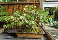 Coccoloba uvifera - Marie Selby Botanical Gardens - Sarasota, Florida - DSC01055.jpg