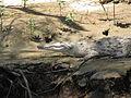 Cocodrilo en el Cañón del Sumidero.JPG