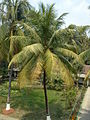 Coconut Tree 1.jpg
