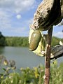 Cocoon hanging from a plant.jpg