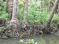 Cocos nucifera - Kerala 6.jpg
