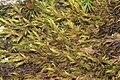Codriophorus fascicularis (a, 141237-472401) 4530.JPG