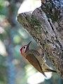 Colaptes rubiginosus Carpintero cariblanco Golden-olive Woodpecker (male) (23955689250).jpg