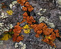 Colorful Lichens - 6 Aug. 2013.jpg
