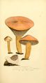 Coloured Figures of English Fungi or Mushrooms - t. 105.png