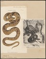Coluber russellii - 1700-1880 - Print - Iconographia Zoologica - Special Collections University of Amsterdam - UBA01 IZ12000253.tif