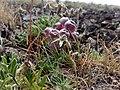 Coluteocarpus vesicaria Sevkar 04.jpg