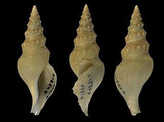 <i>Comitas aequatorialis</i> Species of gastropod