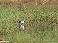 Common Greenshank (Tringa nebularia) (30552120296).jpg