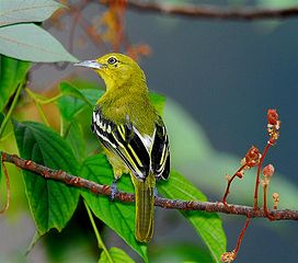 Common Iora.jpg