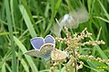 Common blues in cop (NH) (10976050043).jpg