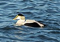 Common eider male at Jones Beach (04687).jpg