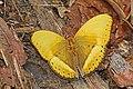 Common yellow gilder (Cymothoe egesta egesta) male.jpg
