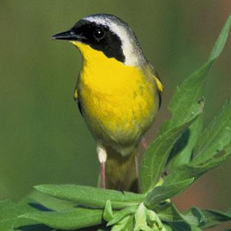 Yellowthroat - Male common yellowthroat