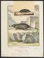 Condylura cristata - 1700-1880 - Print - Iconographia Zoologica - Special Collections University of Amsterdam - UBA01 IZ20900161.tif