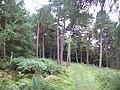Coniferous Woodland near Burbage Bridge - geograph.org.uk - 2064444.jpg