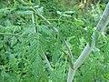 Conium maculatum leaf (02).jpg