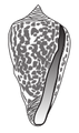 Conus borgesi shell.png
