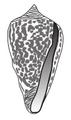 Conus borgesi shell.png