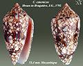 Conus canonicus 2.jpg